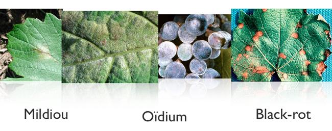 Vigne Mildiou Oidium Black-Rot maladies Nicolas Forcato